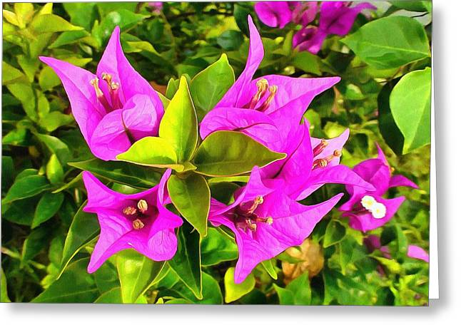 Nyctaginaceae Greeting Cards - Bougainvillea Greeting Card by Sergey Lukashin