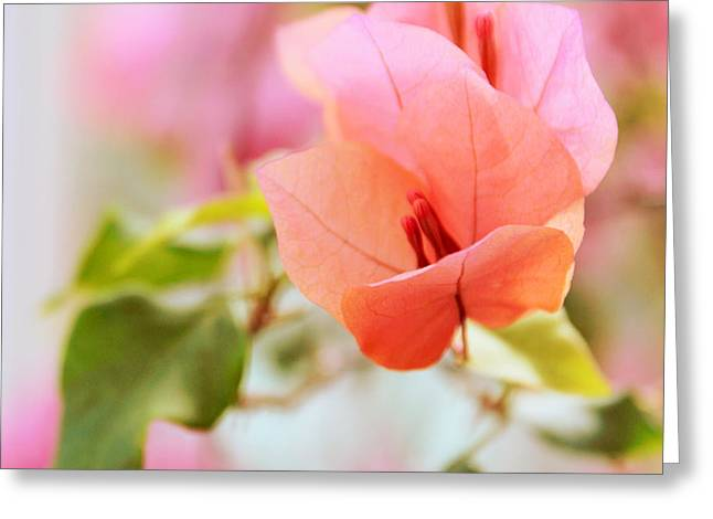 Stamen Digital Greeting Cards - Bougainvillea Whispers Greeting Card by Jessica Jenney