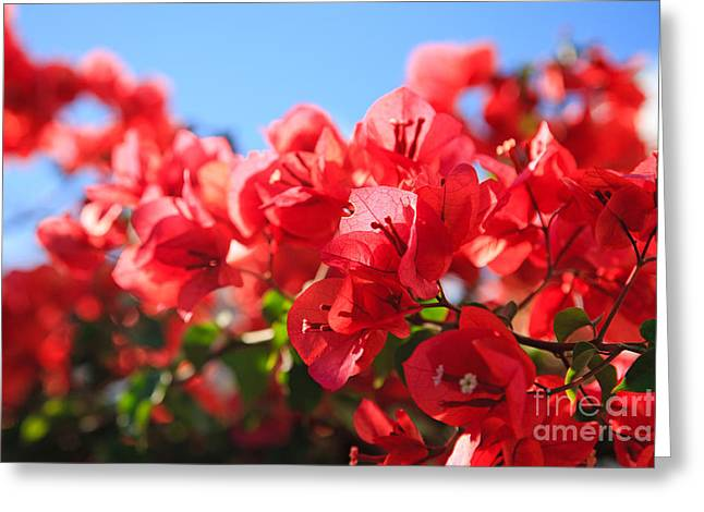 Nyctaginaceae Greeting Cards - Bougainvilleas Greeting Card by Gaspar Avila