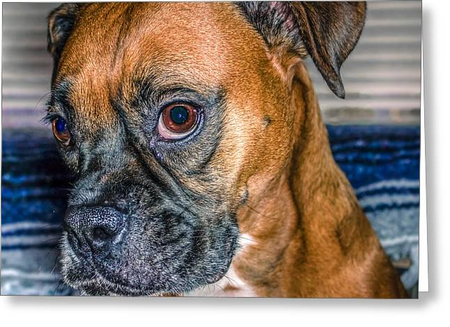 Boxer Digital Greeting Cards - Boxer Portrait Greeting Card by Rob Sellers
