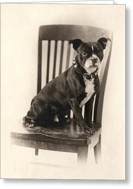 Boxer Dog Greeting Cards - Boxer Sitting on a Chair Greeting Card by Unknown