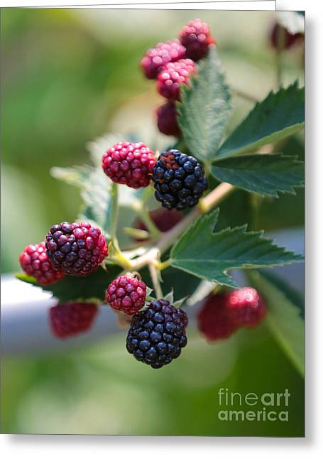 Fruit On The Vine Greeting Cards - Boysenberries Greeting Card by Carol Groenen