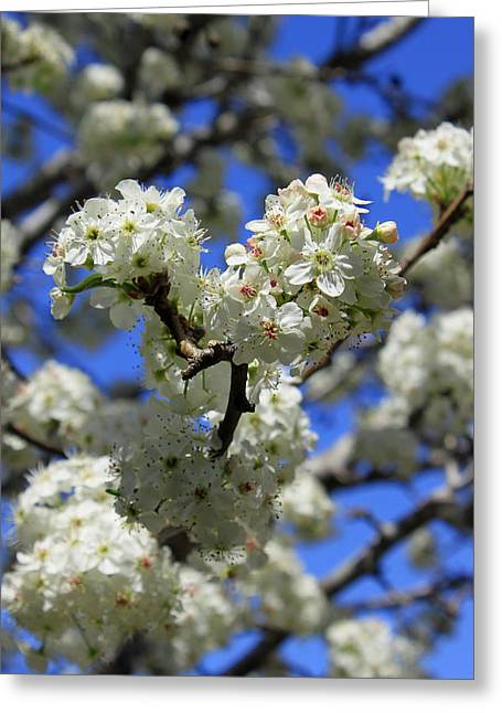 Bradford Greeting Cards - Bradford Pear Blossoms Greeting Card by Suzanne Gaff