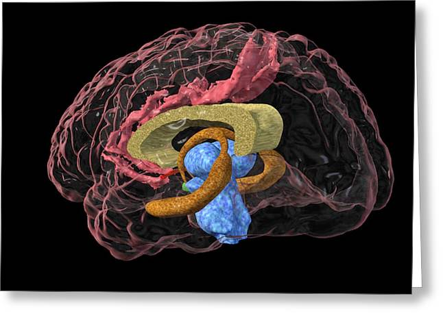 Cerebrum Greeting Cards - Brain Limbic System, 3-d Mri Scan Greeting Card by Arthur Togaucla