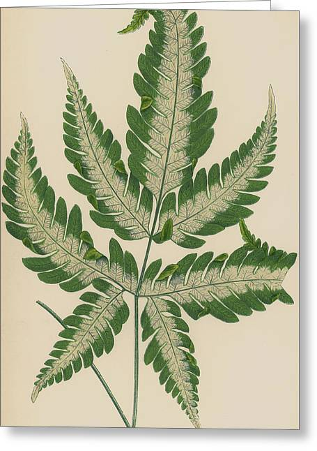 Brake Fern Greeting Card by English School