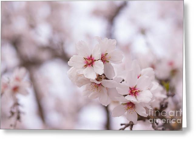 Pink Blossoms Greeting Cards - Branch Blossoms Greeting Card by Ana V  Ramirez