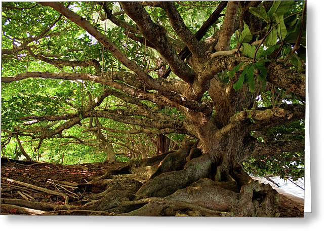 """""""banyan Tree"""" Greeting Cards - Branches And Roots Greeting Card by James Eddy"""