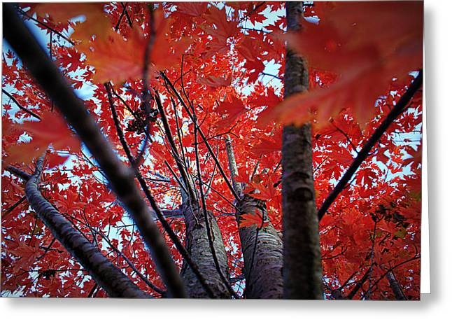 Red Leaves Greeting Cards - Branches of Autumns Blaze Greeting Card by Cricket Hackmann