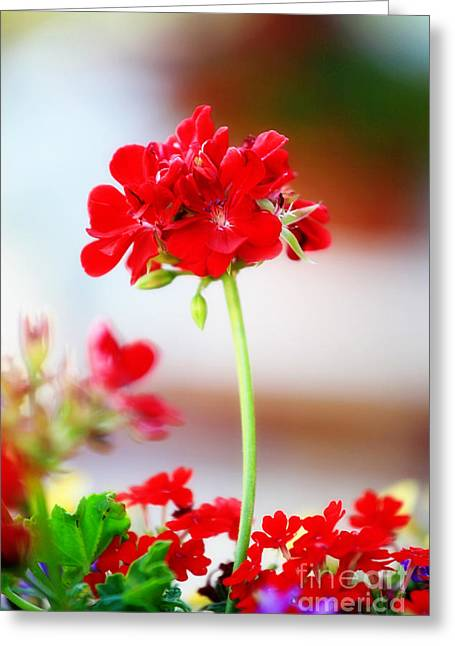 Red Geraniums Photographs Greeting Cards - Brave against the wind Greeting Card by Toni Hopper