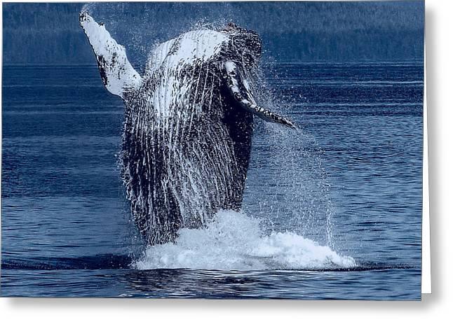 Ocean Mammals Greeting Cards - Breaching Humpback Whale Greeting Card by Daniel Hagerman