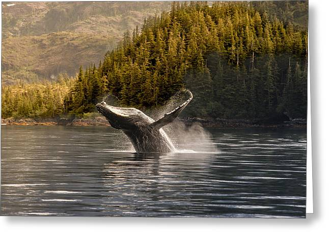 Trees Reflecting In Water Greeting Cards - Breaching Humpback Whale In Prince Greeting Card by Daryl Pederson