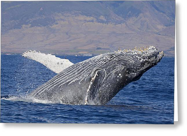 Lahaina Greeting Cards - Breaching Humpback Whale  Megaptera Greeting Card by Dave Fleetham