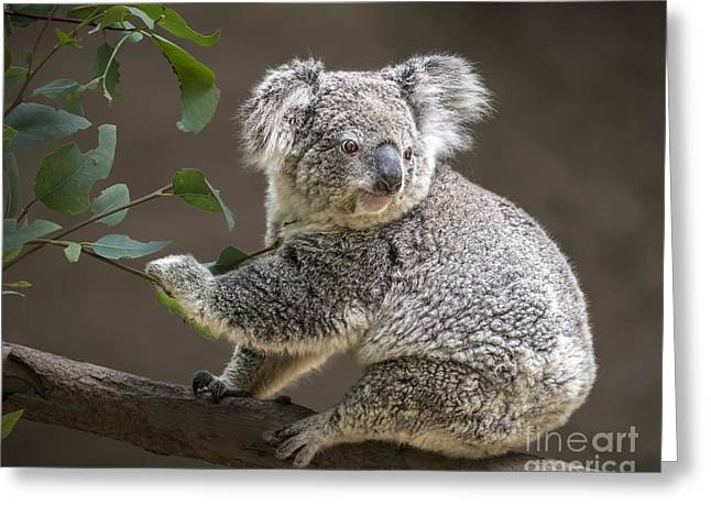 Koala Photographs Greeting Cards - Breakfast Greeting Card by Jamie Pham