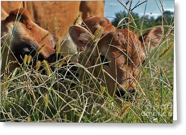 Swiss Photographs Greeting Cards - Bright Eyed Calf Greeting Card by Carrie Barcomb
