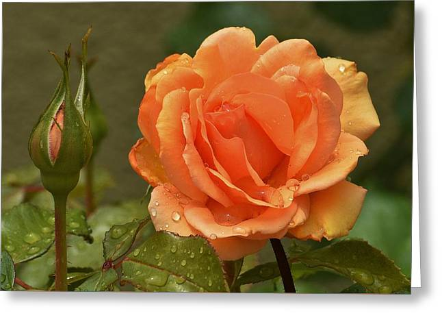 Bright Orange Rose And Bud Greeting Card by Linda Brody
