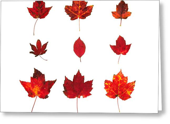Norway Maple Greeting Cards - Bright Red Autumn Leaves Greeting Card by Jennifer Booher