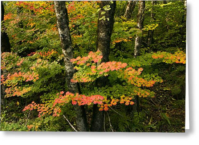 Brilliant Fall Vine Mapes Greeting Card by Jean Noren