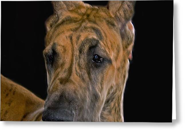 BRINDLE GREAT DANE Greeting Card by Larry Linton