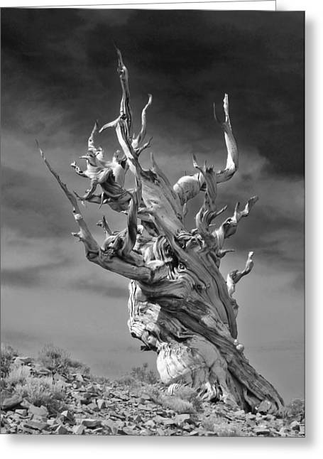Pines Greeting Cards - Bristlecone Pine - A survival expert Greeting Card by Christine Till