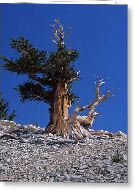 Bristlecone Pine - Patriarch Grove Greeting Card by Soli Deo Gloria Wilderness And Wildlife Photography