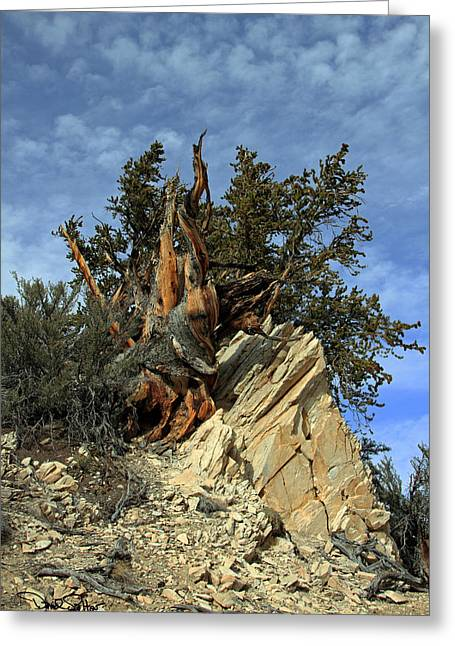 Oldest Living Tree Greeting Cards - Bristlecone Pine Tree Greeting Card by David Salter