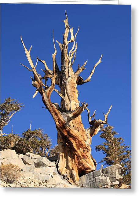 White Pine County Greeting Cards - Bristlecone Pine Greeting Card by Troy Montemayor