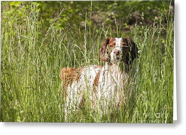 Hunting Bird Greeting Cards - Brittany in Tall Grass Greeting Card by Timothy Flanigan