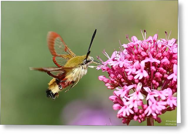 Moth Pyrography Greeting Cards - Broad-bordered Bee Hawk-moth Greeting Card by Dean Eades