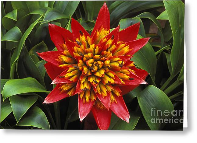 Bromeliad Greeting Cards - Bromeliad Blooming Greeting Card by Peter French - Printscapes
