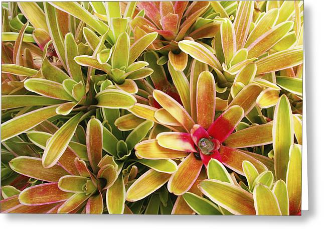 Bromeliad Photographs Greeting Cards - Bromeliad Brightness Greeting Card by Ron Dahlquist - Printscapes