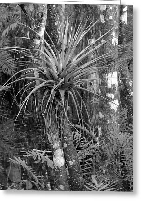 Bromeliad Greeting Cards - Bromeliad Greeting Card by Juergen Roth
