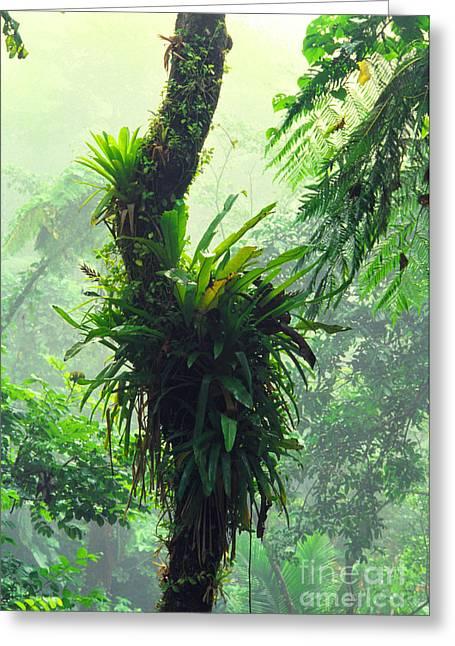 Bromeliad Greeting Cards - Bromeliads and Mist El Yunque Greeting Card by Thomas R Fletcher