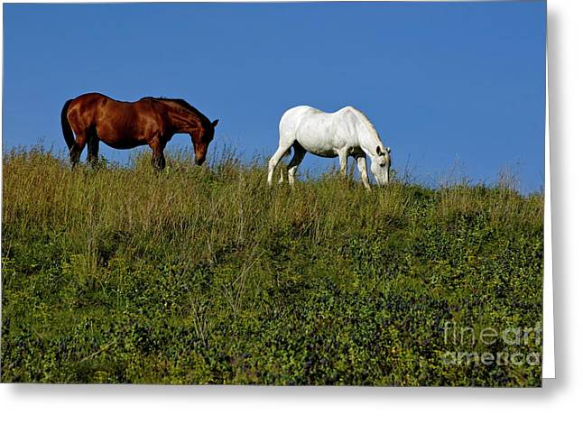 Placid Blue Greeting Cards - Brown and white horse grazing together in a grassy field Greeting Card by Sami Sarkis