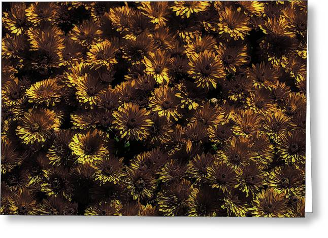 Brown And Yellow Mums Greeting Card by Scott Hovind
