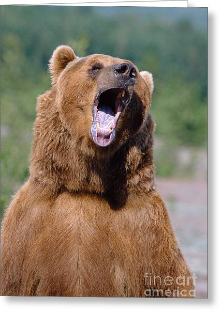 Aggressive Postures Greeting Cards - Brown Bear Greeting Card by John Hyde - Printscapes