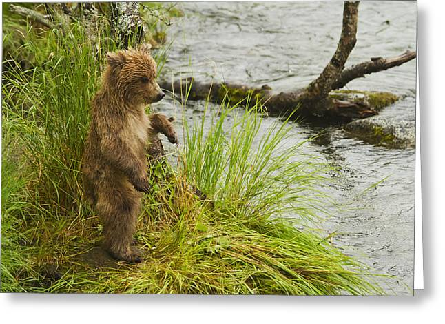 Fall River Scenes Greeting Cards - Brown Bear  Ursus Arctos  Cub Standing Greeting Card by Gary Schultz