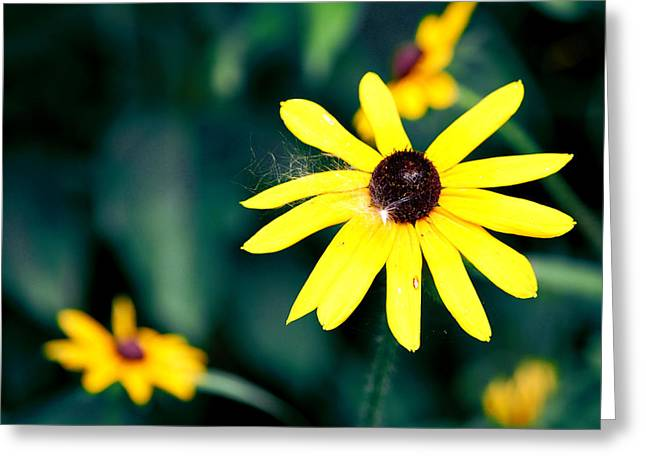 Brown Eyed Susan Greeting Card by Jame Hayes