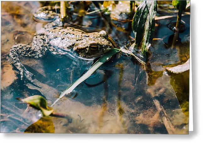 Brown Frog In Water Greeting Card by Pati Photography