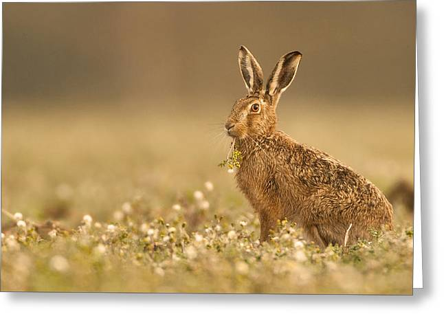 Hare Greeting Cards - Brown Hare  Greeting Card by Paul Neville
