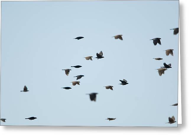 Cowbird Greeting Cards - Brown-headed Cowbirds In Eastern Greeting Card by Joel Sartore