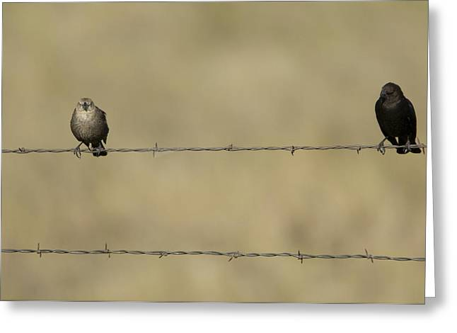 Cowbird Greeting Cards - Brown-headed Cowbirds Perch On A Barbed Greeting Card by Joel Sartore