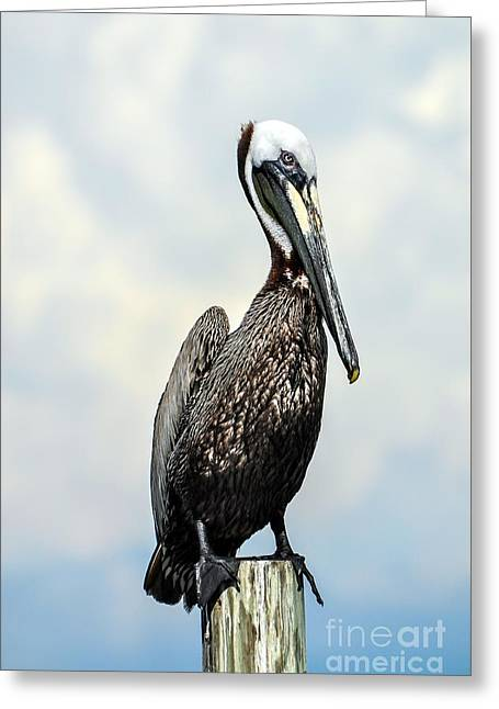 Cedar Key Greeting Cards - Brown Pelican Greeting Card by Debbie Green