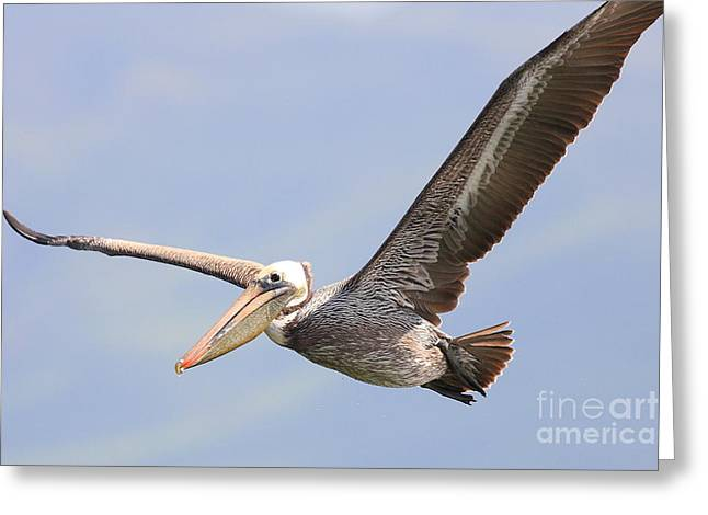 Brown Pelican Flying Greeting Card by Wingsdomain Art and Photography