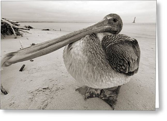 White Photographs Greeting Cards - Brown Pelican Folly Beach Morris Island Lighthouse Close Up Greeting Card by Dustin K Ryan
