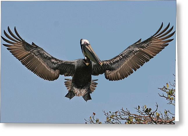 Florida Wildlife Greeting Cards - Brown Pelican Greeting Card by Larry Linton
