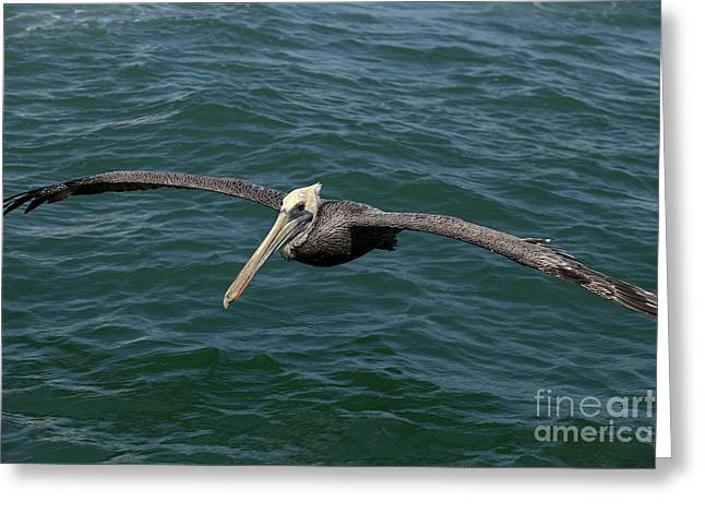 Sea Animals Greeting Cards - Brown Pelican- Pelecanus occidentalis Greeting Card by Anthony Totah