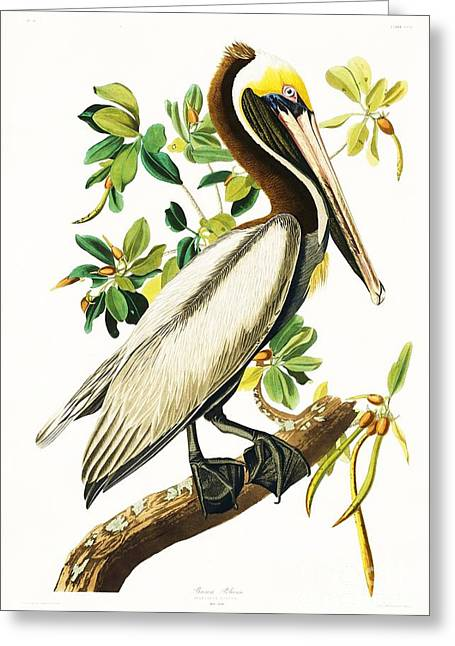 Brown Pelican Greeting Card by Pg Reproductions