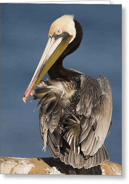 Preening Greeting Cards - Brown Pelican Preening La Jolla Greeting Card by Sebastian Kennerknecht