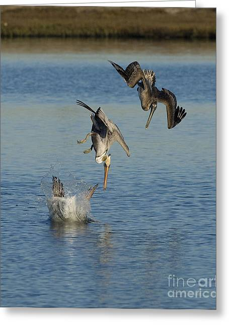 Plunging Greeting Cards - Brown Pelicans Plunge Feeding Greeting Card by Marie Read