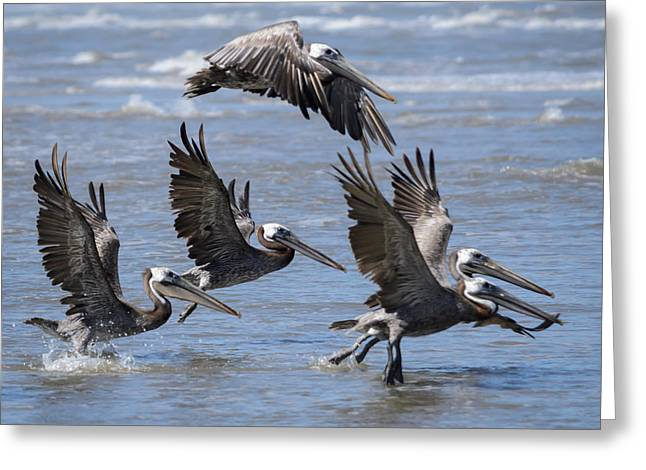 Square Format Greeting Cards - Brown Pelicans Take Flight Greeting Card by Debra Martz